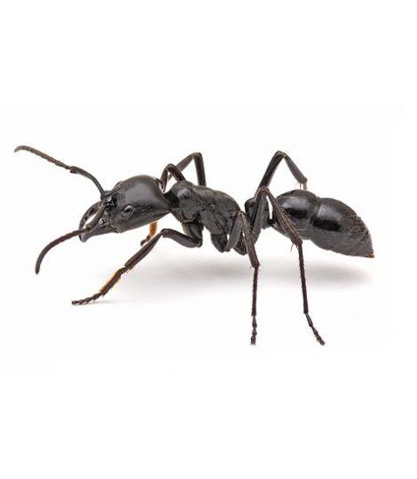 Горные муравьи PolyrhachisvicinaRoger (PvRoger)